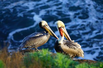 View of wild brown California pelicans (Pelecanus occidentalis californicus) in the La Jolla cove near San Diego, California