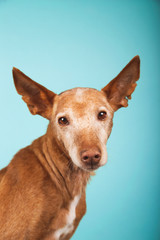 Portrait of brown podenco dog with sad look on blue background