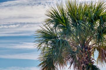 A Palmetto tree on background of blue sky