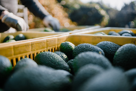 Farmers loading the truck with full hass avocado´s boxes