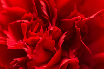 Red carnation flower close-up. Macro, soft focus. Abstract floral background.
