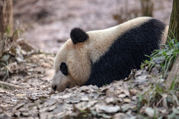Fotomurales - Panda Bear Sleeping in the forest, China Wildlife. Bifengxia nature reserve, Sichuan Province. Cute Lazy Baby Panda Sleeping on the ground, Enjoying an afternoon nap with eyes closed.
