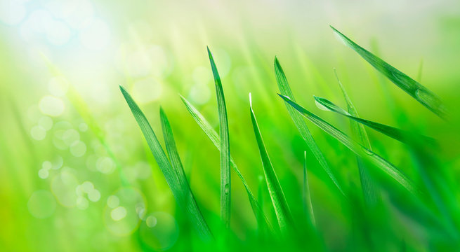 Water drops on fresh grass leaves. Spring landscape. Green meadow in the rays of the rising sun. Nature background. Macro photo.