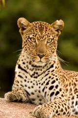 Leopardo nella savana