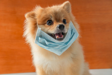 Dog wearing air pollution mask for protect dust PM2.5,Pomeranian, small breed dogs, put on a health mask sit on a white table