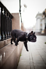 Black French Bulldog jumps in the center of Moscow