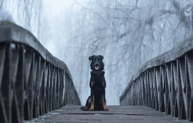 Beauce shepherd dog sitting on the bridge a winters day