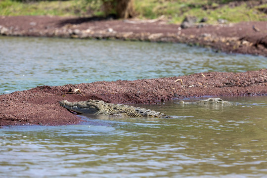 Chamo lake and resting big nile crocodile, Ethiopia Africa wildlife safari