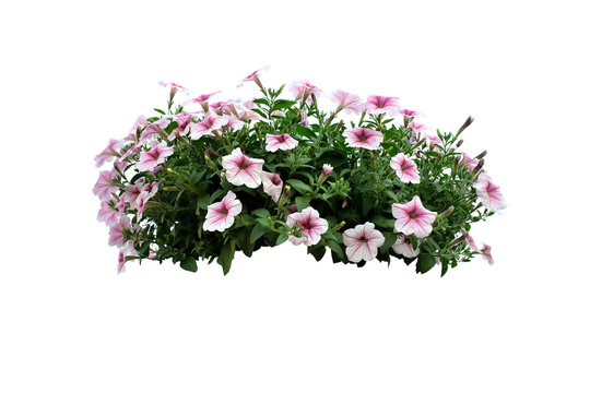 flowers bush of White Petunia isolated on white background (file with path)