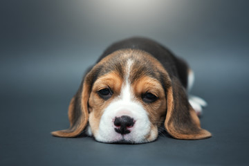 Beagle dog puppies