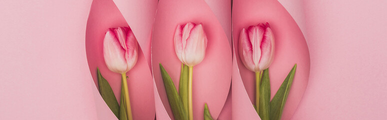 top view of tulips in paper swirls on pink background, panoramic shot