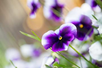 Türaufkleber Stiefmutterchen Flowering purple pansies in the garden as floral background