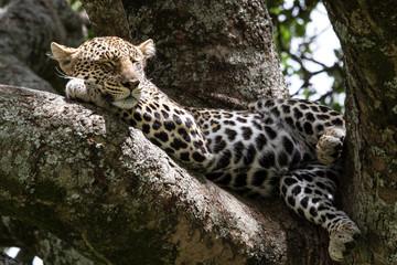 Ein Leopard ruht nach der Jagd im Serengeti-Nationalpark, Tansania