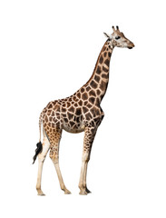 Photo sur Toile Girafe Giraffe isolated on a white background.
