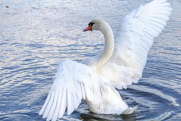 In de dag Zwaan 優雅に羽を広げた白鳥