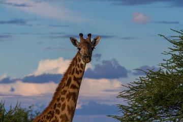Giraffe im Abendlicht im Tarangire-Nationalpark mit Freiraum für Text