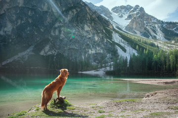 dog by the mountain lake. Traveling with a pet. vacation trip. Nova Scotia Retriever in nature.