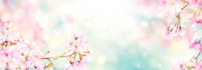 Pink cherry tree blossom flowers blooming in spring, easter time against a natural sunny blurred garden banner background of blue, yellow and white bokeh.