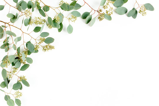Frame borders made of eucalyptus populus leaves with fruits in the form of berries on white background. Flat lay, top view. floral concept