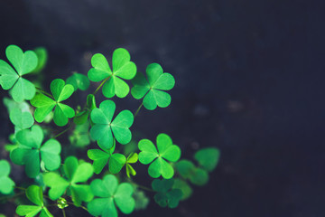 Close up of green fresh bright shamrock leaves on blurred dark background. Rural nature view. Spring Holiday floral backdrop. Spring St. Patrick's Day Clovers background. Open composition. Copy space.