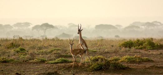 Spoed Foto op Canvas Antilope Love in nature