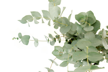 Wall Mural - A bunch of twigs green eucalyptus in a glass jar on the table.