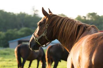 Foto auf AluDibond Pferde 日本の北海道東部・9月の牧場、逆光の朝靄に浮かぶ馬のシルエット