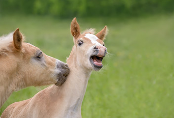 Two funny Haflinger horses foals playing side by side in a green grass meadow