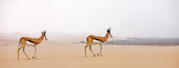 Spoed Foto op Canvas Antilope SPRINGBOK antidorcas marsupialis