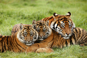 Photo sur cadre textile Tigre TIGRE DE SUMATRA panthera tigris sumatrae