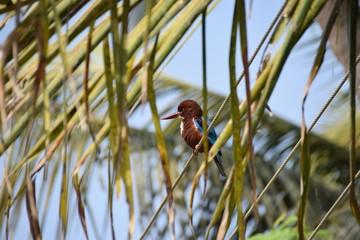 White-throated Kingfisher, Varkala, Kerala, India