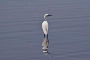 Little Egret, Varkala, Kerala, India