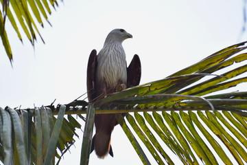 Brahminy Kite, Varkala, Kerala, India