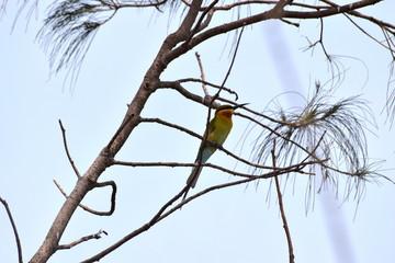 Blue-tailed Bee-eater, Varkala, Kerala, India