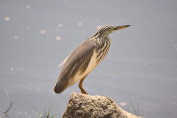 Indian Pond Heron, Varkala, Kerala, India