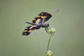 Variegated Flutterer (female) dragonfly, Marari Beach, Kerala, India