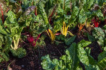 Rainbow Chard growing on urban farm