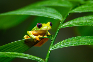 Gliding tree frog (Agalychnis spurrelli) is a species of frog in family Hylidae. It is found in...