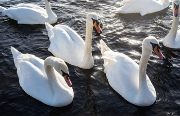 Poster Cygne Londrers. London. Angleterre. England. .white swans on a lake. cygnes blancs sur un lac.