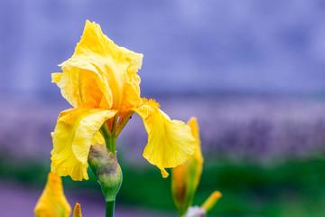 Yellow iris flower on purple blurred background_