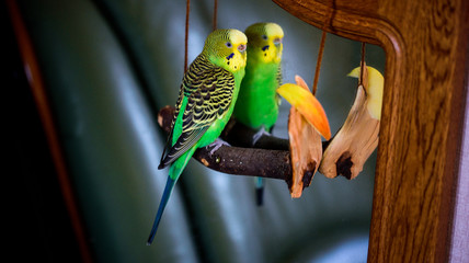 A parrot cleans feathers. and eats an apple. pet care. concept of vitamin deficiency in birds.Budgerigar on a branch by the mirror. Bright exotic picture