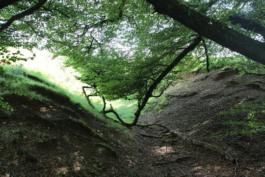 heavy crown of a huge old tree spreads along a ravine and lush green grass. Dartmoor National Park, Lydford Gorge