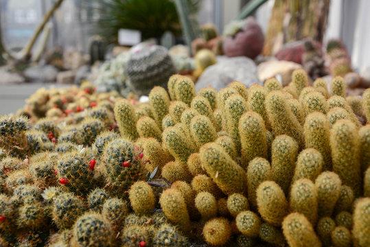 Beautiful blooming wild desert cactus flower. Green cactus plant in greenhouse. Golden Ball Cactus. Selective of focus.
