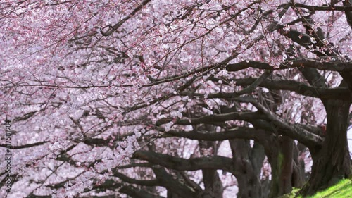 Wall mural Row of Cherry blossoms tree in spring, Japan