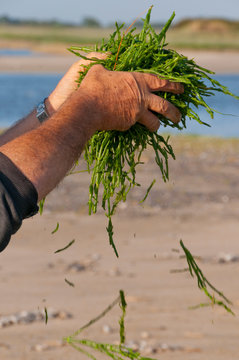 Pêcheurs à pied ramenant leur cueillette de salicorne à la pointe du Hourdel (Baie de Somme)