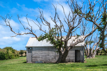 Stanley, Tasmania, Australia - December 15, 2009: Hightfield Historic Site. Bare branches tree in front of gray wooden barn in green meadow under blue cloudscape.