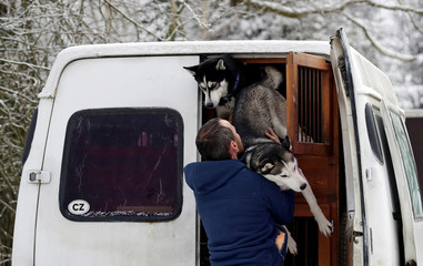 A musher takes his dog out of a car before the Sedivackuv Long dog sled race in Destne v Orlickych horach