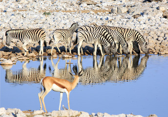 Dazzle of Zebra with heads down drinking from a waterhole with good reflection, there is an Out of Focus Impala on the opposite shoreline watching.  Etosha National Park, Namibia
