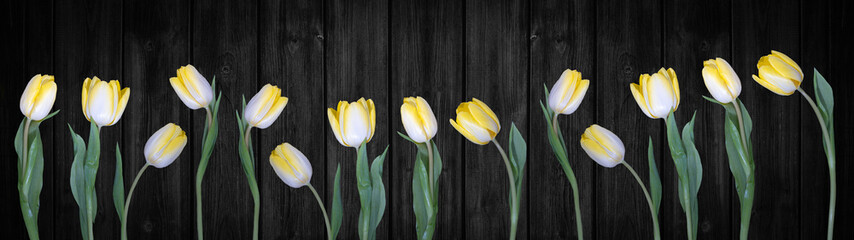Spring background panorama banner - yellow white tulips isolated on black rustic wooden wall texture