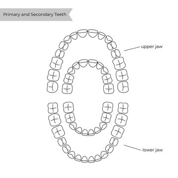 Vector isolated illustration of tooth